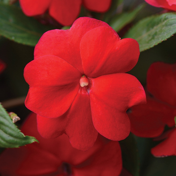 New Guinea Impatiens Red Pixie Stakes