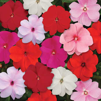 Divine Mix Improved Hybrid New Guinea Impatiens