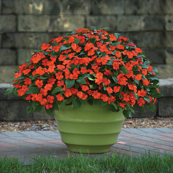 Beacon Orange Hybrid Impatiens