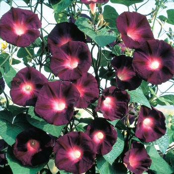 Carmen Morning Glory