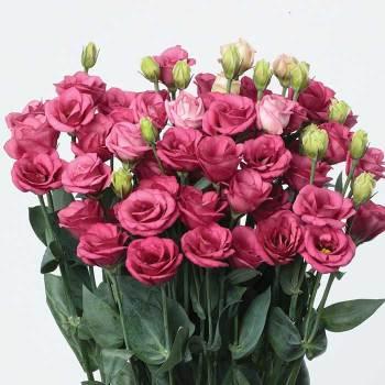 Doublini Rose Pink Hybrid Lisianthus