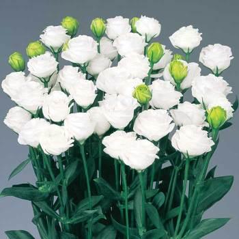 Doublini White Hybrid Lisianthus