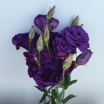 Can Can Purple Hybrid Lisianthus