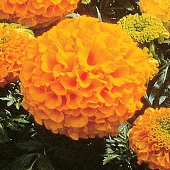 Orange Antiqua Hybrid Marigold