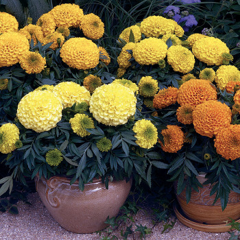 Antigua Mix Marigold