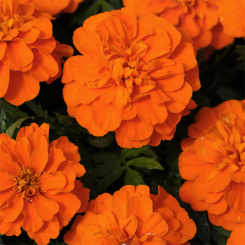 Bonanza Deep Orange Marigold