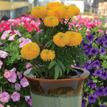 Big Duck Gold Hybrid Marigold