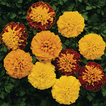 Boy O Boy Mix Marigold