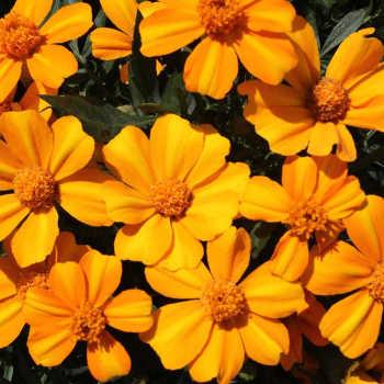 Bambino Marigold - 250 seeds
