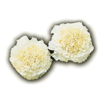 Vanilla Hybrid Marigold Pixie Stake