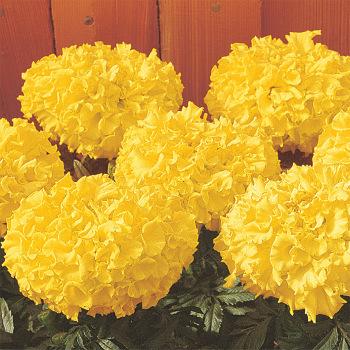 Crush Pineapple Marigold