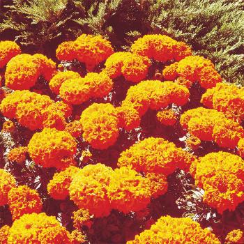Crush Pumpkin Marigold