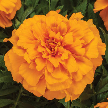 Endurance Orange Hybrid
