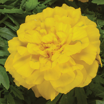 Endurance Yellow Hybrid Marigold