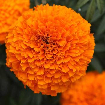 Garland Orange Hybrid Marigold