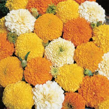 Gold And Vanilla Hybrid Mix Marigold