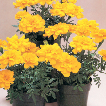 Hero Yellow Marigold