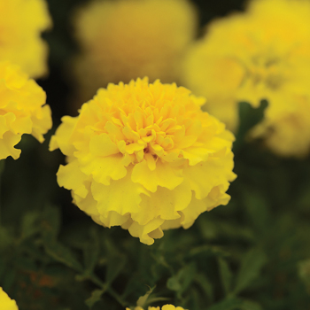 Hot Pak Yellow Marigold