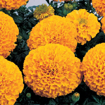 Inca 2 Orange Hybrid Marigold