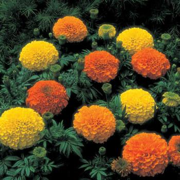 Inca 2 Mix Hybrid Marigold