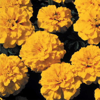 Janie Bright Yellow Marigold