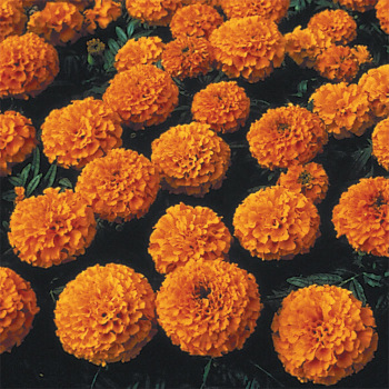 Lady Deep Orange Hybrid Marigold