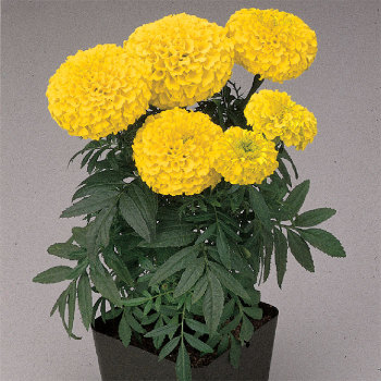 First Lady Hybrid Marigold