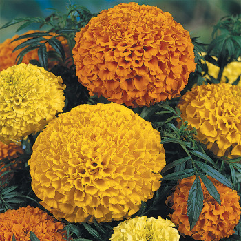 Lady Mix Marigold