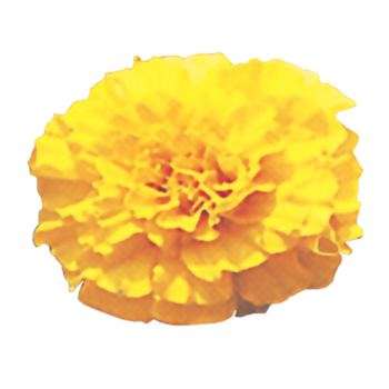 Lemon Drop Marigold