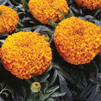 Moonstruck Deep Orange Hybrid Marigold