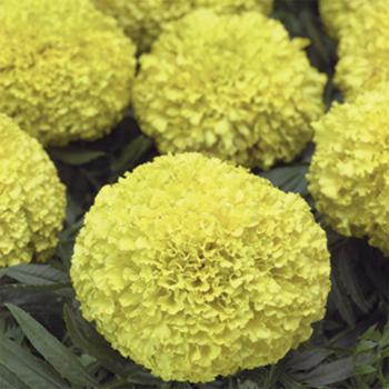 Moonstruck Lemon Yellow Hybrid Marigold