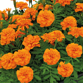 Deep Orange Super Hero Marigold