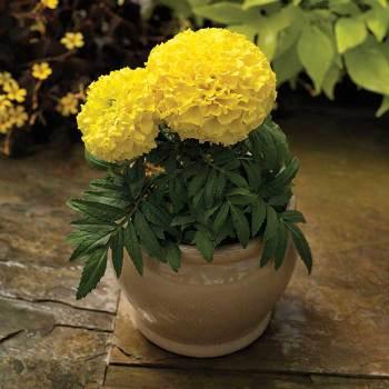 Proud Mari Hybrid Yellow Marigold