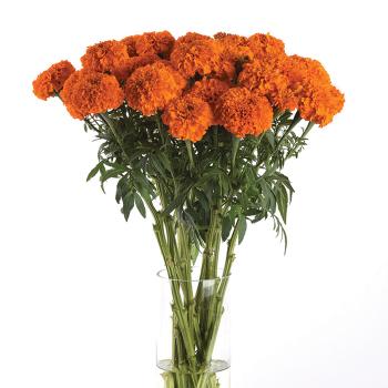 Xochi Orange Hybrid Marigold