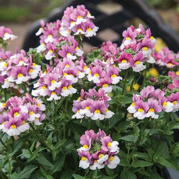 Seventh Heaven Lavender Bicolor Hybrid Nemesia