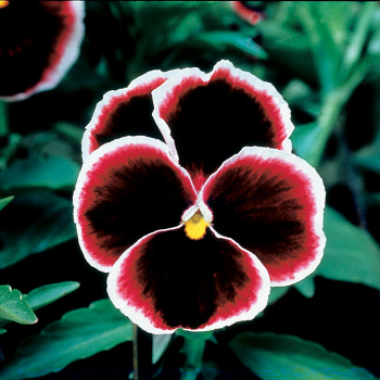 Burgundy Lace Pansies