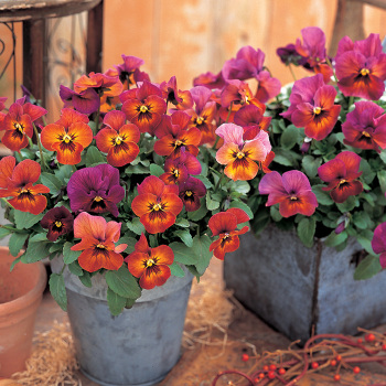 Nature Mulberry Shades Hybrid Pansies