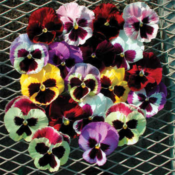 Majestic Giants 2 Mix Pansy - 100 seeds