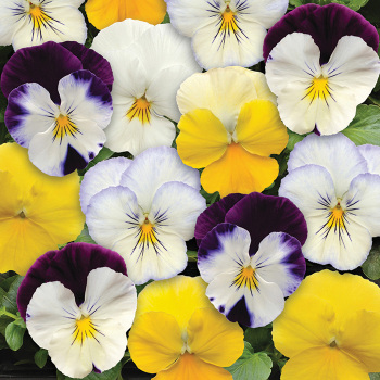 Cool Wave Mix Hybrid Pansy
