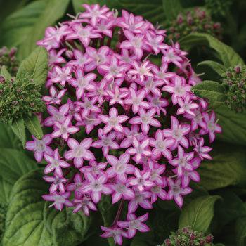 Glitterati Purple Star Hybrid Pentas