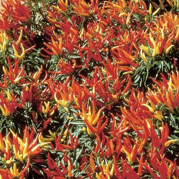 Chilly Chili Hybrid Ornamental Pepper