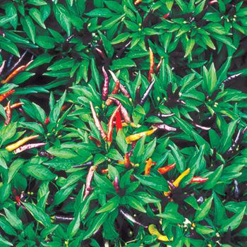 Masquerade Hybrid Ornamental Pepper