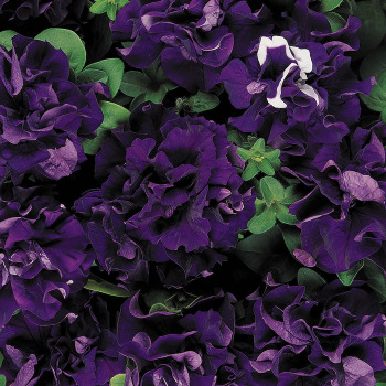 Blue Double Cascade Petunia