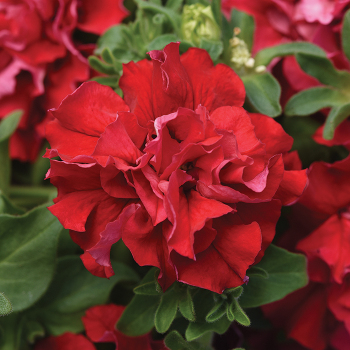 Double Cascade Valentine Hybrid Petunia