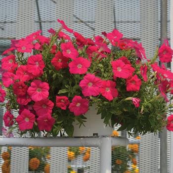 Neon Rose Hotunia Radiance Hybrid Petunia