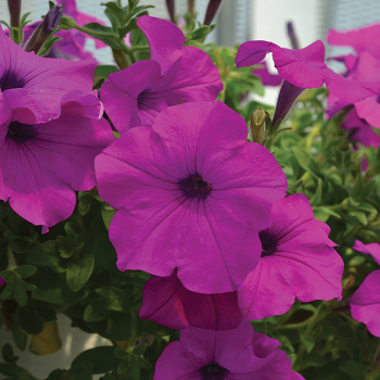 Hotunia Radiance Grape Hybrid Petunia