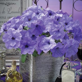 Evening Sensation Multiflora Petunia