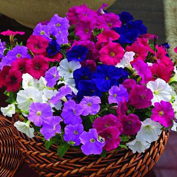Picobella Mix Hybrid Petunia