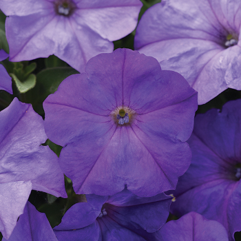 Easy Wave Lavender Sky Blue Hybrid Petunia