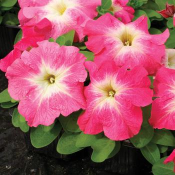 Limbo Pink Morn Hybrid Petunia